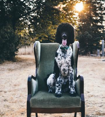 Dog sitting in a winged-back chair