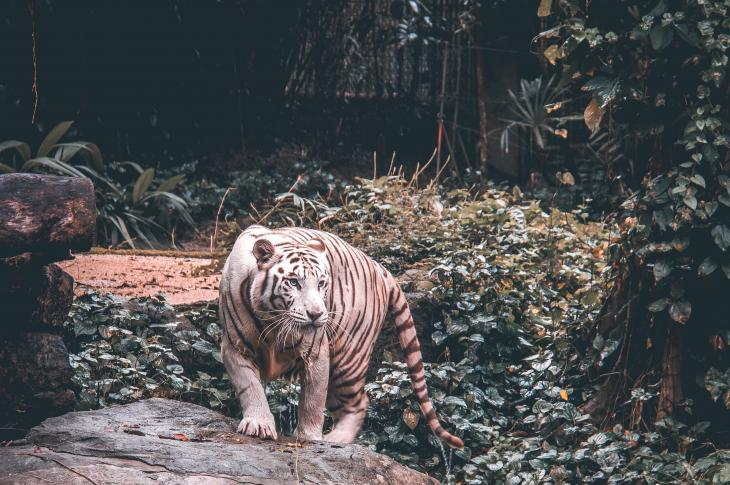 Tiger in a Singapore zoo_endangered species act